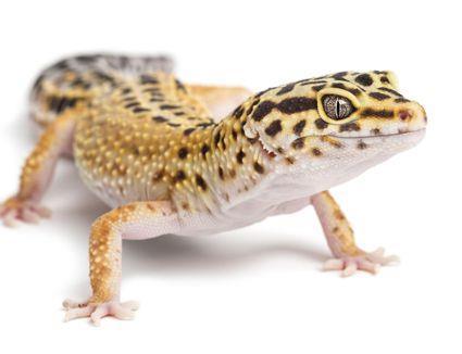 gecko leopardo terrario pvc reptiles