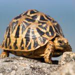 geochelone elegans tortuga estrellada