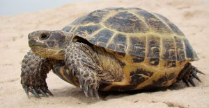 tortuga-rusa agrionemys horsfieldii
